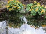 Photo Marsh Marigold, Kingcup characteristics
