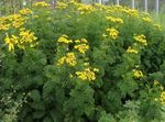 Photo Curled Tansy, Curly Tansy, Double Tansy, Fern-leaf Tansy, Fernleaf Golden Buttons, Silver Tansy characteristics