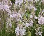 Photo Camassia characteristics