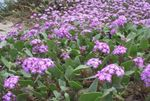 Photo Garden Flowers Sand Verbena (Abronia), lilac