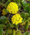Photo Garden Flowers Sand Verbena (Abronia), yellow