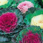 Photo Flowering Cabbage, Ornamental Kale, Collard, Curly kale characteristics