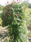 Photo Cardinal Climber, Cypress Vine, Indian Pink characteristics