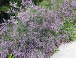 Photo Sea lavender characteristics