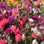 Photo Clarkia, Garland Flower, Mountain Garland characteristics