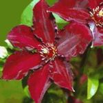 Photo Clematis characteristics