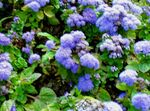 Photo Floss Flower (Ageratum houstonianum), light blue