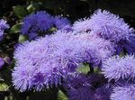 Photo Floss Flower (Ageratum houstonianum), lilac