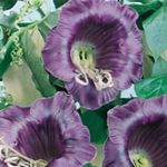 Photo Garden Flowers Cathedral Bells, Cup and saucer plant, Cup and saucer vine (Cobaea scandens), purple