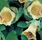 Photo Garden Flowers Cathedral Bells, Cup and saucer plant, Cup and saucer vine (Cobaea scandens), yellow