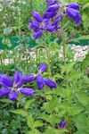 Photo Campanula, Bellflower characteristics