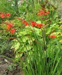 Photo Crocosmia characteristics