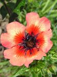 Photo Garden Flowers Cinquefoil (Potentilla), orange