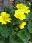 Photo Garden Flowers Cinquefoil (Potentilla), yellow