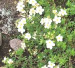 Photo Garden Flowers Cinquefoil (Potentilla), white