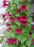Photo Twining Snapdragon, Creeping Gloxinia characteristics