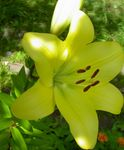 Photo Lily The Asiatic Hybrids characteristics