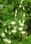 Photo Martagon Lily, Common Turk's Cap Lily characteristics