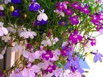 Photo Garden Flowers Edging Lobelia, Annual Lobelia, Trailing Lobelia , pink