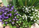 Photo Garden Flowers Edging Lobelia, Annual Lobelia, Trailing Lobelia , white