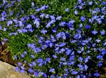 Photo Edging Lobelia, Annual Lobelia, Trailing Lobelia characteristics