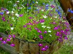 Photo Garden Flowers Edging Lobelia, Annual Lobelia, Trailing Lobelia , purple