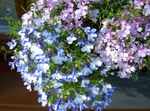 Photo Garden Flowers Edging Lobelia, Annual Lobelia, Trailing Lobelia , light blue