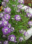 Photo Sweet Alyssum, Sweet Alison, Seaside Lobularia characteristics