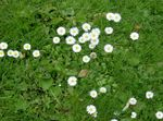 Photo Bellis daisy, English Daisy, Lawn Daisy, Bruisewort characteristics