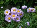Photo Seaside Daisy, Beach Aster, Flebane characteristics