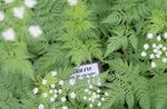 Photo Sweet cicely characteristics