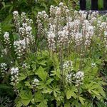 Photo Tiarella, Foam flower characteristics