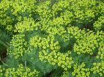 Photo Cypress Spurge, Bonaparte's Crown, Graveyard Moss characteristics