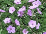 Photo Garden Flowers Heron's Bill, Stork's Bill (Erodium), lilac