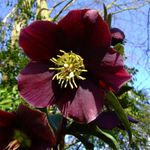 Photo Christmas Rose, Lenten Rose characteristics