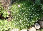 Photo Irish Moss, Pearlwort, Scottish or Scotch Moss characteristics