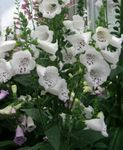 Photo Foxglove characteristics