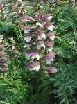 Photo Garden Flowers Spiny bear's breeches (Acanthus), burgundy