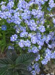 Photo Garden Flowers Cape Jewels (Nemesia), light blue