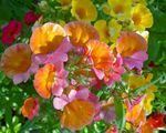 Photo Garden Flowers Cape Jewels (Nemesia), orange
