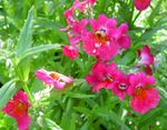 Photo Garden Flowers Cape Jewels (Nemesia), pink
