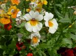 Photo Garden Flowers Cape Jewels (Nemesia), white