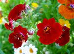 Photo Garden Flowers Cape Jewels (Nemesia), burgundy