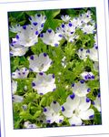 Photo Nemophila, Baby Blue-eyes characteristics