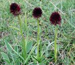 Photo Species Orchid, Black Vanilla Orchid, Black Gymnadenia characteristics