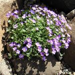 Photo Aubrieta, Rock Cress characteristics