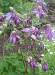 Photo Garden Flowers Columbine flabellata, European columbine (Aquilegia), lilac