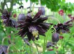 Photo Garden Flowers Columbine flabellata, European columbine (Aquilegia), black