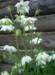 Photo Garden Flowers Columbine flabellata, European columbine (Aquilegia), white