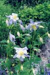 Photo Garden Flowers Columbine flabellata, European columbine (Aquilegia), light blue